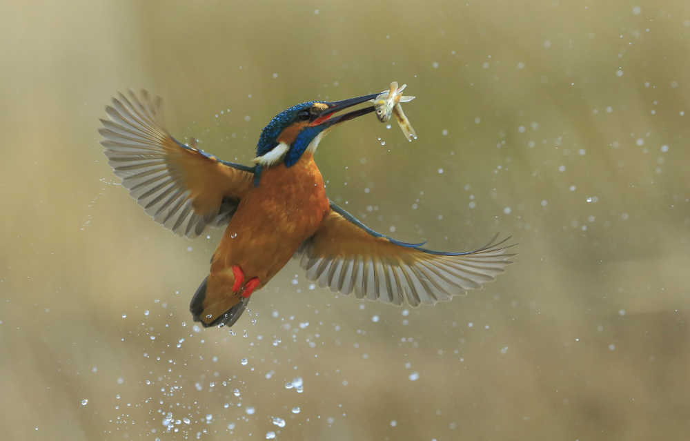 3_N_HPS gold - Bob Devine, MPSA, EFIAPs - United Kingdom - Kingfisher caught Fish